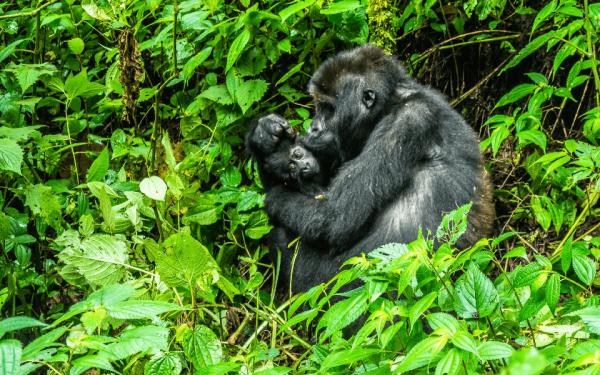Die Lebensräume von Gorillas und anderen Affenarten erhält Pro Wildlife mit dem Erlös aus der Handysammlung.